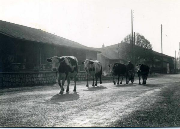 Dernière traversée du village pour le vaches de M. Berger.