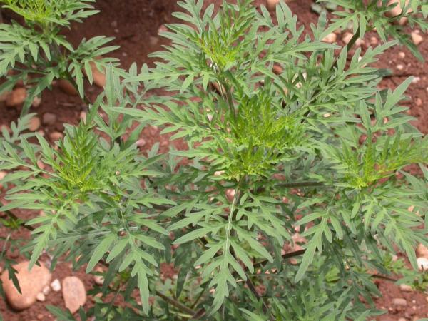 Ambroisie : une plante sauvage qui nuit à la santé.